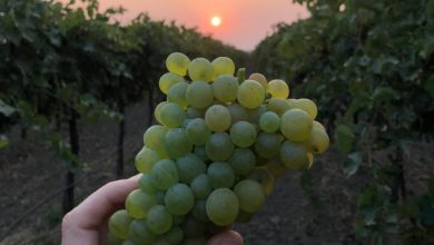 Photo of Superb 2020 vintage bolsters New Zealand wine industry